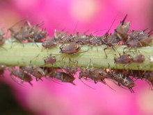 Aphids on Rose Bush