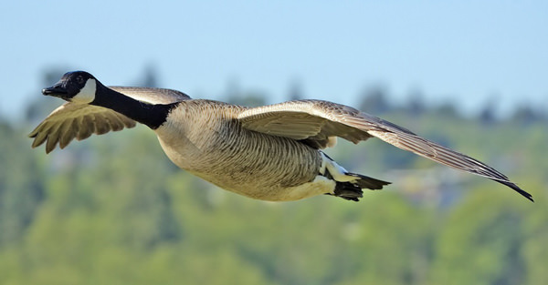 Canada_goose_flight_cropped_and_NR.jpg
