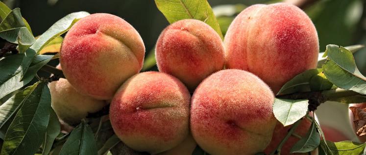 https://reviewed-production.s3.amazonaws.com/article/15890/Peach Tree Hero.jpg