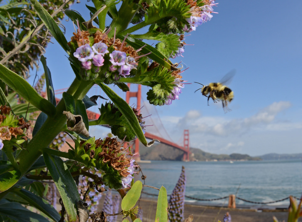 Black-tailed Bumble Bee and Golden Gate Bridge